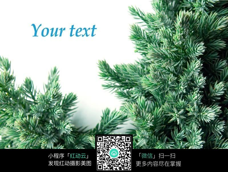 圣诞松柏树图片