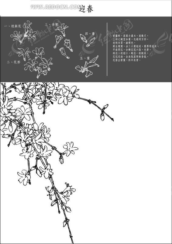 迎春线描图谱矢量图_花草树木