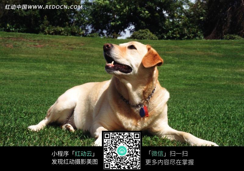 可爱拉布拉多犬图片