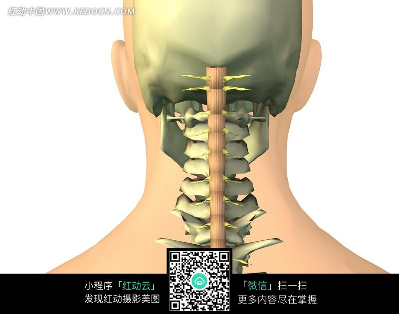 人体头骨和颈椎骨骼图鉴图片免费下载 编号570835 红动网