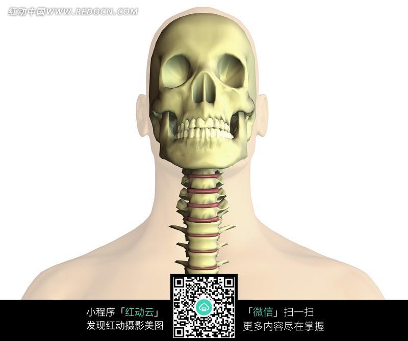 头骨颈椎骨骼特写图片