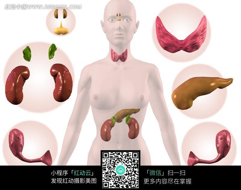 医学女性人体器官图鉴图片