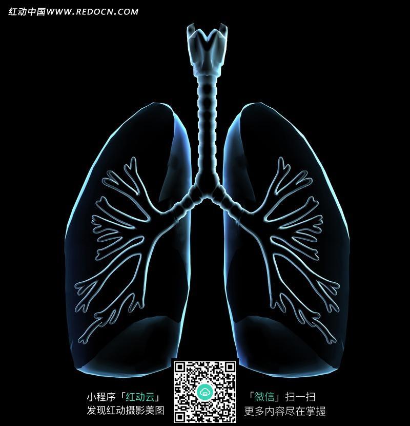 肺部气管透视图
