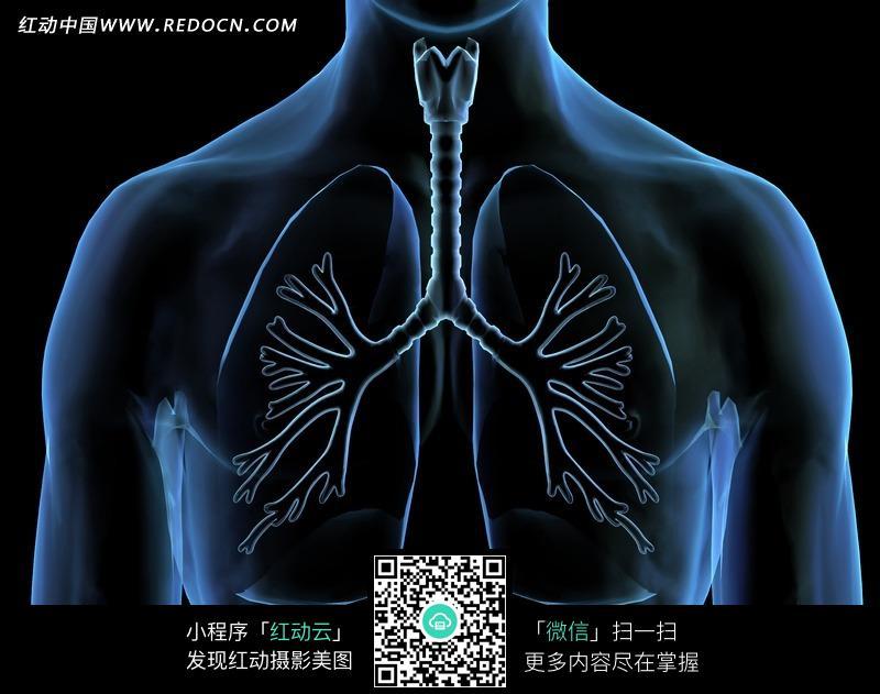 肺部气管透视图片