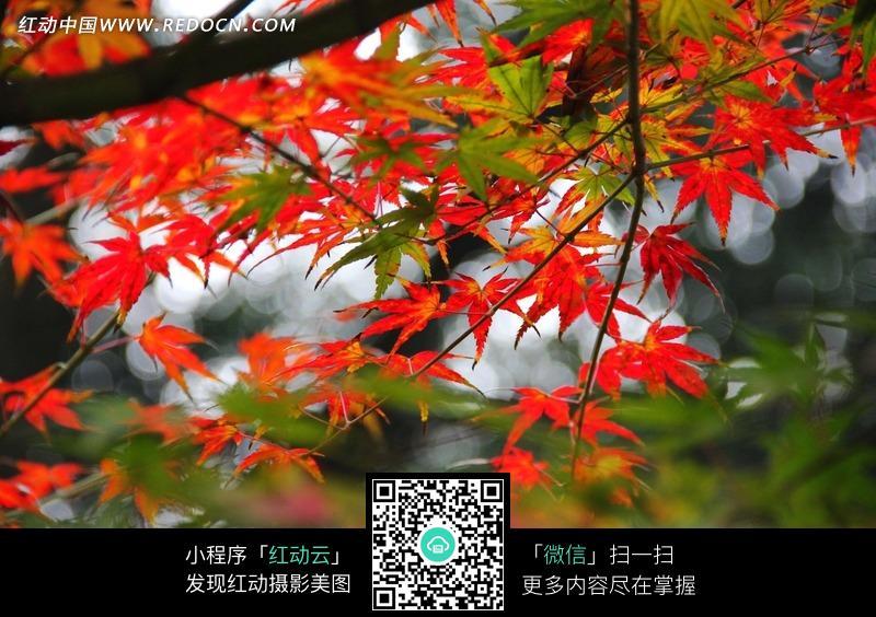 免费素材 图片素材 自然风光 自然风景 秋天下的红枫叶  请您分享: 红