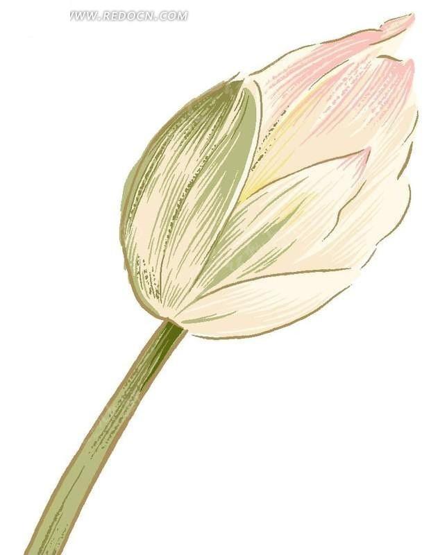花骨朵 手绘