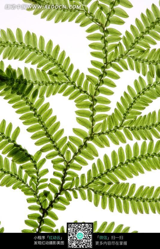 羽状复叶的蕨类植物叶子 图片