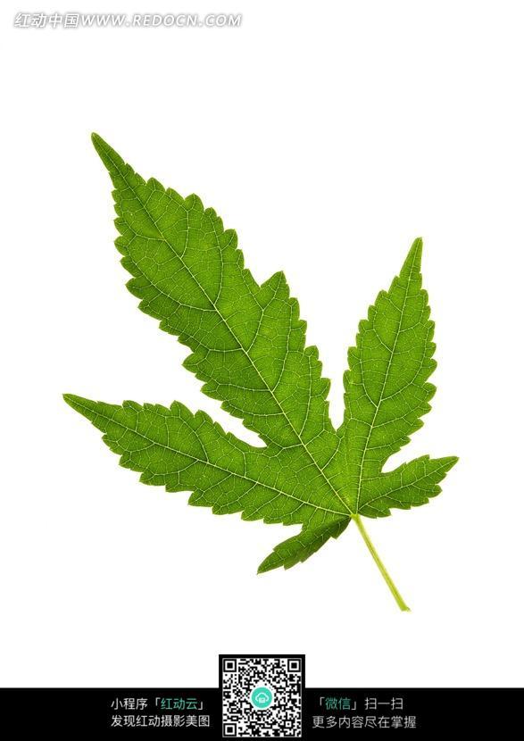 边缘呈锯齿状的掌状复叶的绿叶图片
