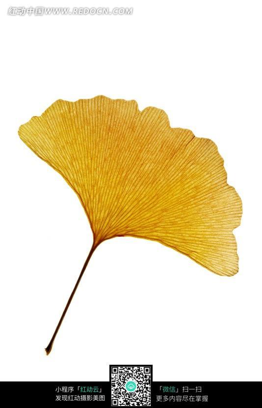 一片黄色银杏叶图片
