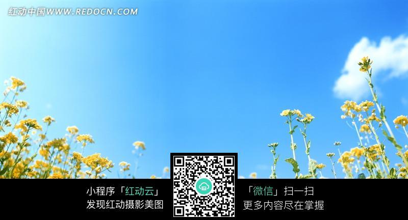 夏日蓝天白云黄色 小花 摄影照片图片