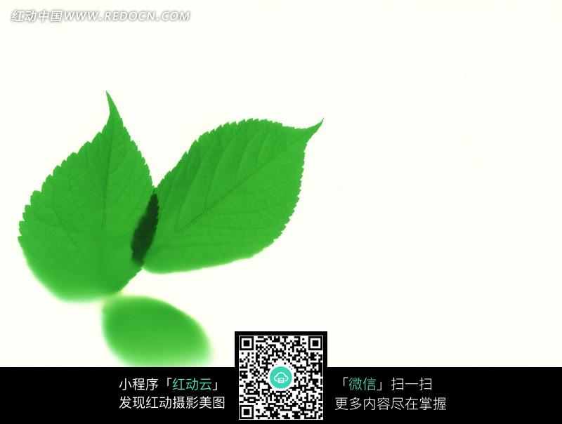 白色背景下的绿色叶子图片