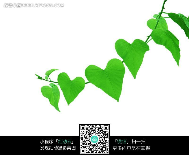 绿叶 心形叶子 藤蔓 自然 白色背景  植物图片 植物 摄影图片 植物