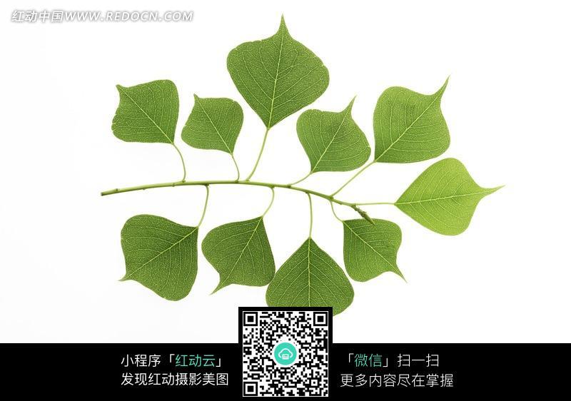 长在一根枝上的不同大小的树叶图片