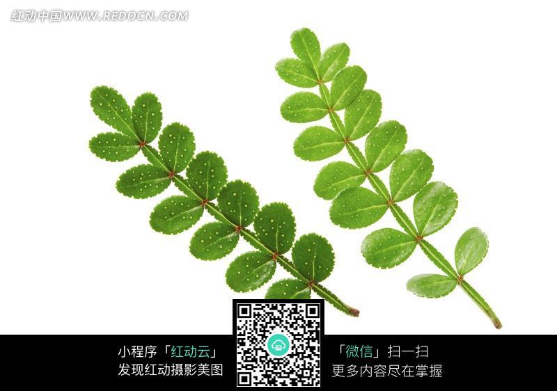 两枝绿色双排圆形叶子jpg