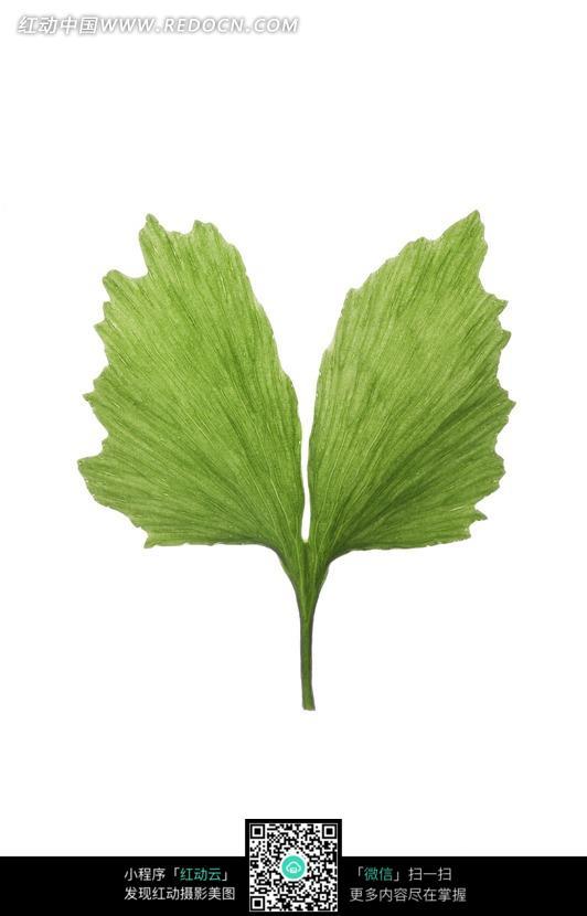 """绿叶图片-鳞形树叶摄影图动物植物图片素材; 搜索""""银杏树叶""""相关"""