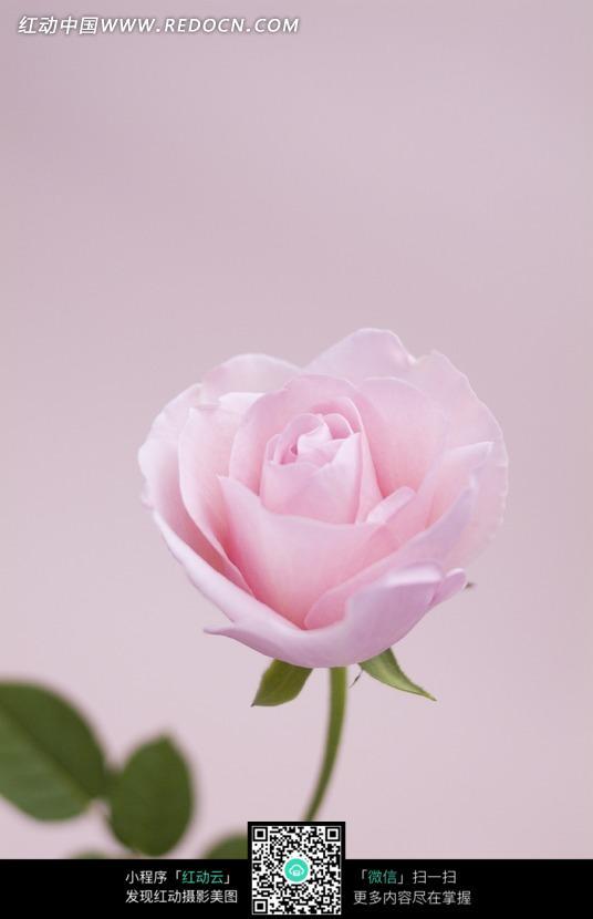 一支浅粉色的玫瑰花图片图片