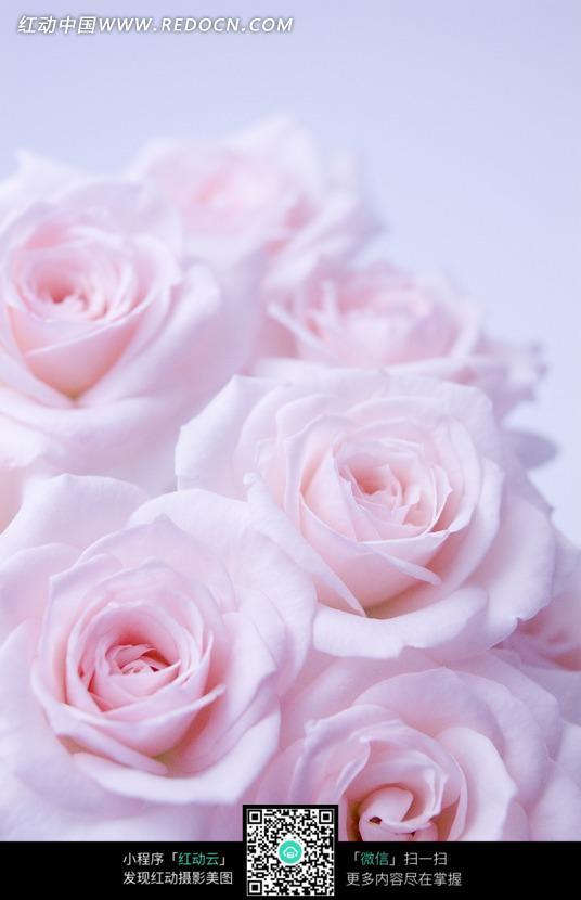 一束粉色玫瑰花图片
