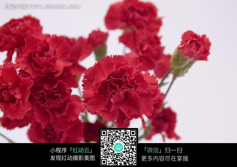 一束康乃馨简笔画-一束红色康乃馨和花蕾图片