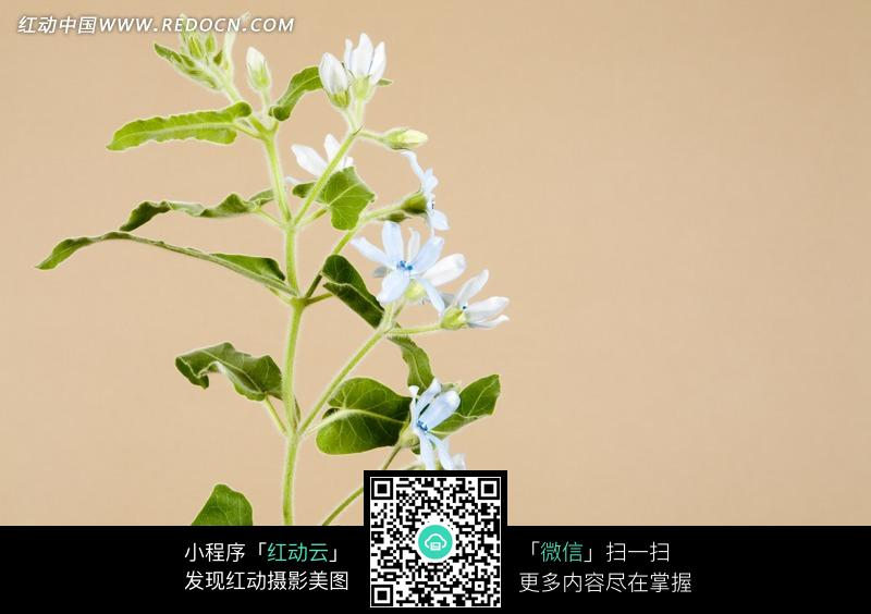 一支浅蓝色的花朵和叶子 一支开浅蓝色花朵的枝条 手绘浅蓝色花朵藤蔓
