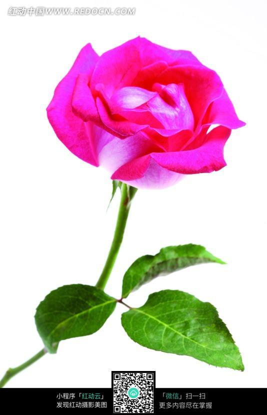 一朵红玫瑰图片免费下载 编号641467 红动网