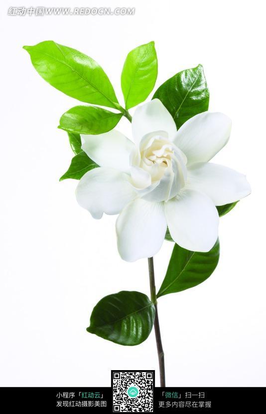 一朵白色的栀子花和叶子图片