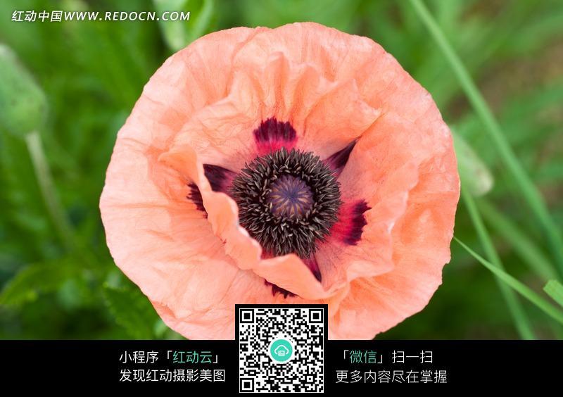 粉色虞美人花朵俯拍图片