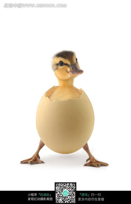 破壳而出的小鸭图片_陆地动物图片