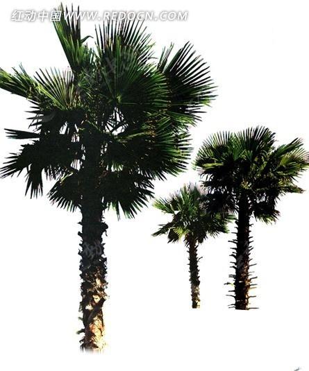 三颗海南椰树