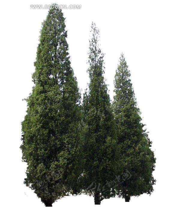 园林景观松树
