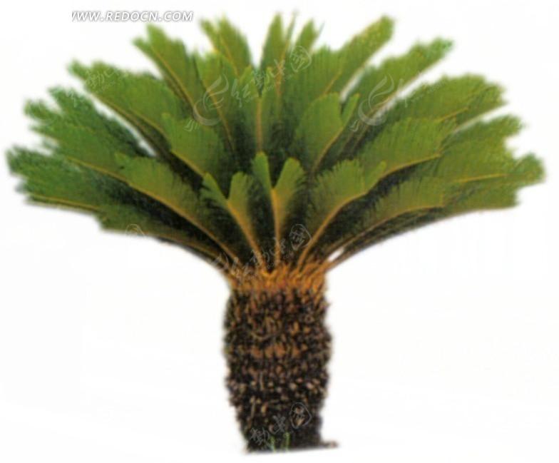 棕榈科植物psd分层素材