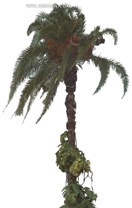 叶子飘  大王椰  树木 绿树 叶子 植物素材  绿化植物  景观树   植物