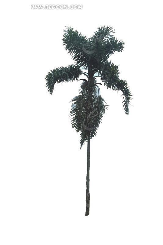 笔挺  椰树  树木 绿树 叶子 植物素材  绿化植物  景观树 植物图片