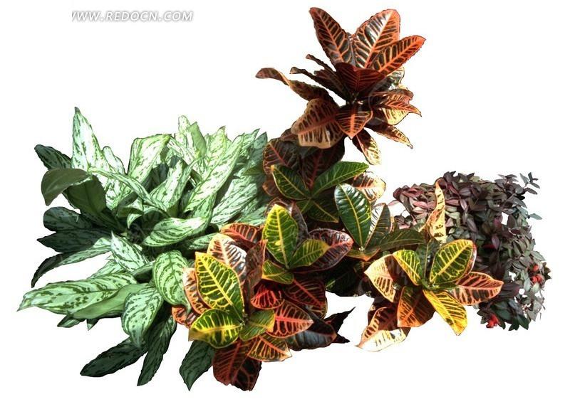 斑叶竹芋与孔雀竹芋