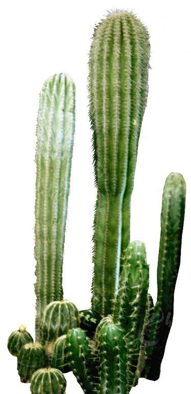 白色背景 仙人球  植物素材 绿化植物 景观树 绿化环保 植物图片 植物