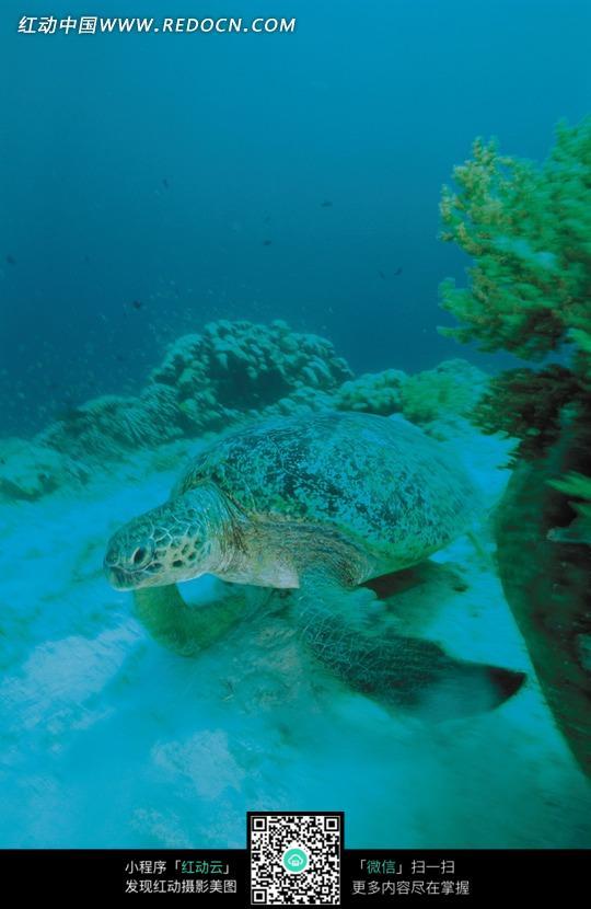 海底珊瑚礁上的海龟图片_水中动物图片