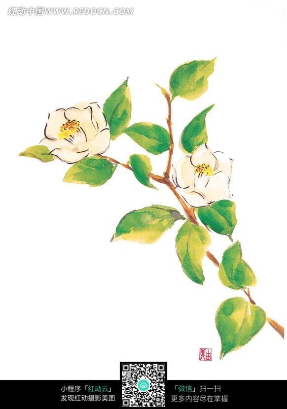 手绘白色山茶花与叶子
