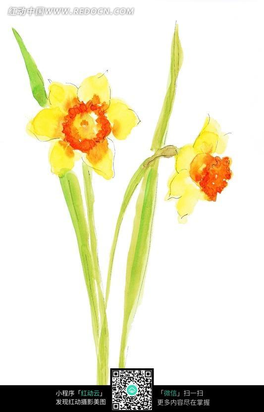 手绘水仙花与叶子图片