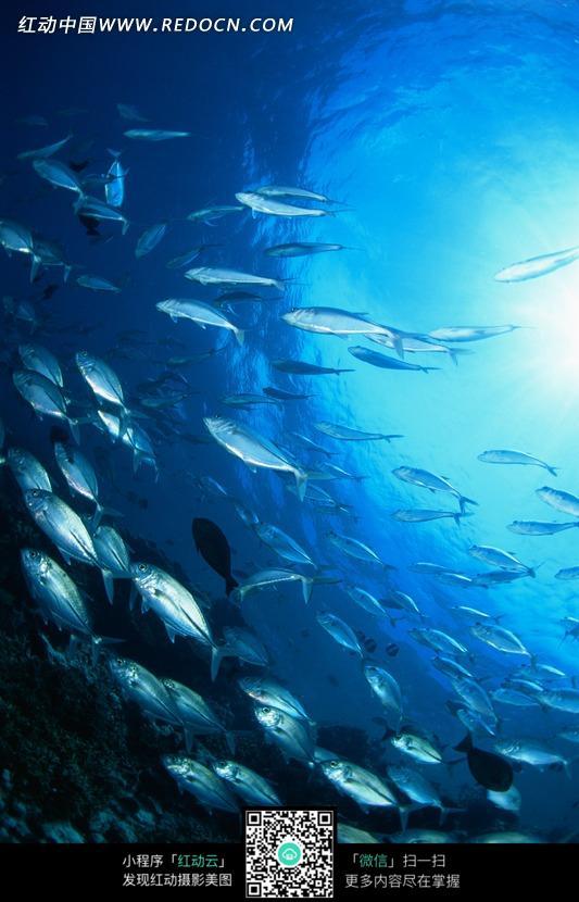 免费素材 图片素材 生物世界 水中动物 蓝色海洋中畅游的银色鱼群  请