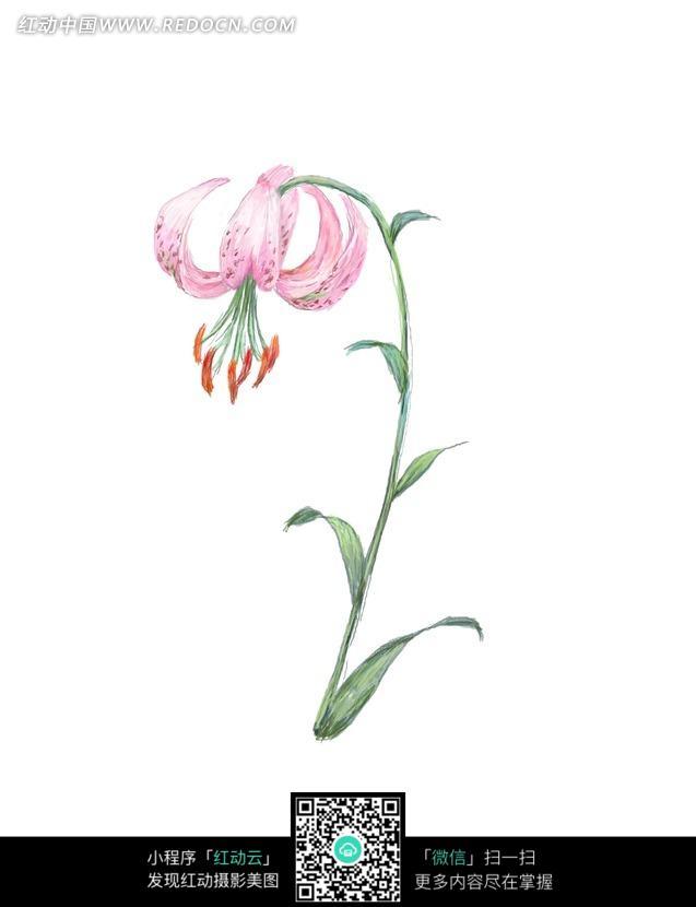 手绘香水百合与叶子