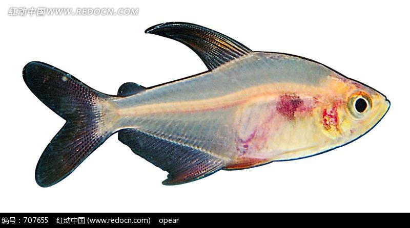 一条仓鱼图片_水中动物图片