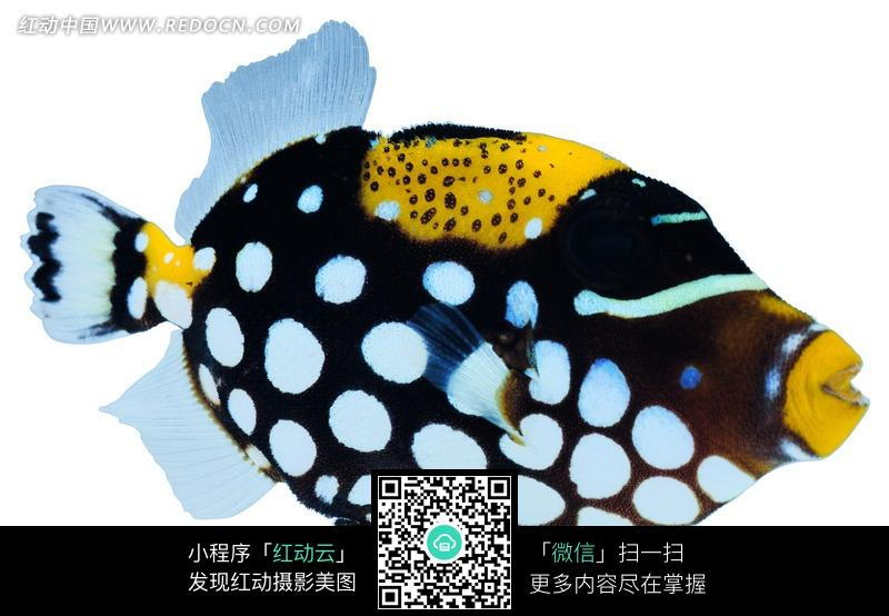 免费素材 图片素材 生物世界 水中动物 黑色的带白色圆点的蓝色鱼鳍的