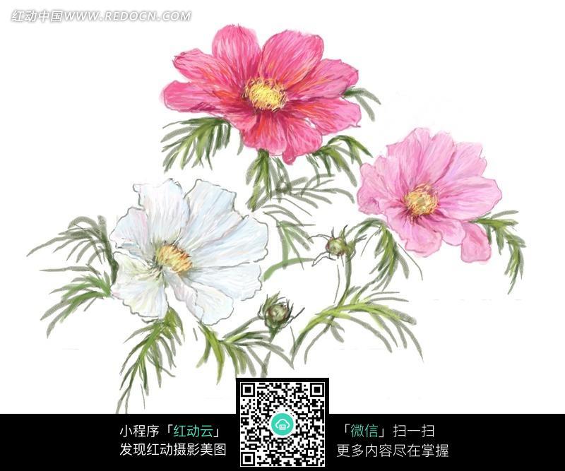 手绘洋波斯菊与叶子图片