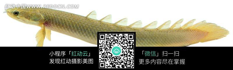 一条金色的小鱼图片_水中动物图片