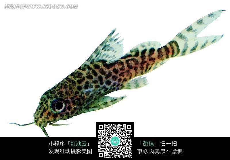 带黑色斑点的尾巴半透明的鱼