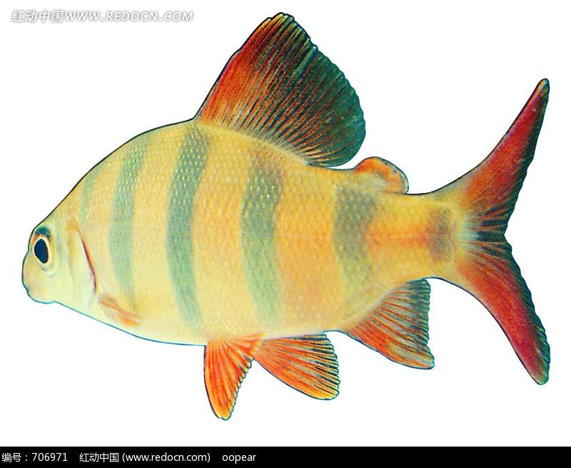 小丑鱼白色背景抠图_水中动物图片