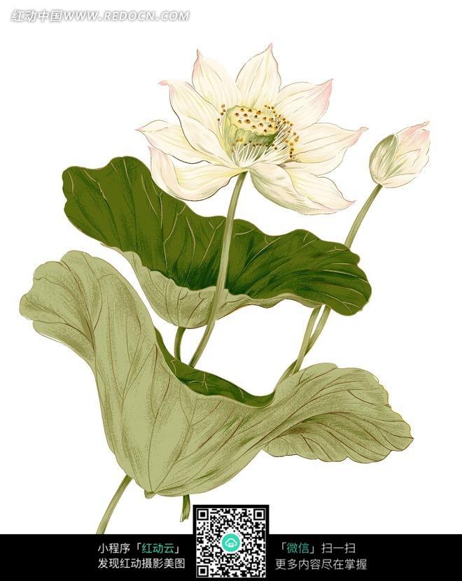 手绘荷花花蕾与叶子图片