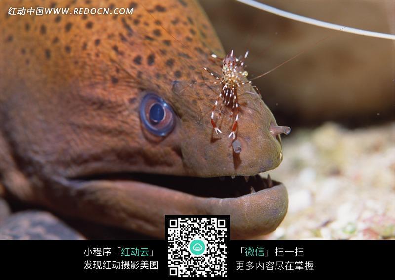灯笼鱼头部特写图片_水中动物图片