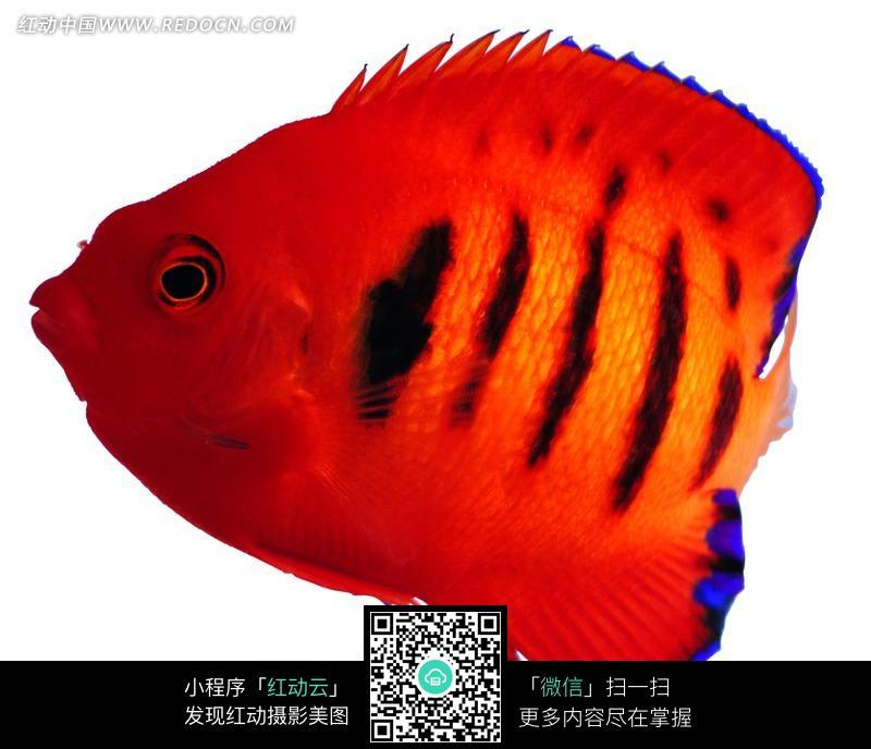 黑色斑纹的红色的鱼_水中动物图片
