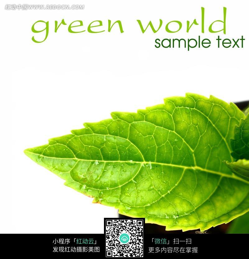 清新绿色叶子图片