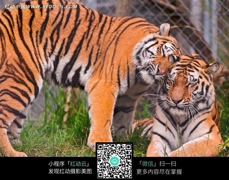 可爱老虎图片